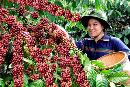 Hướng dẫn kỹ thuật trồng cây cà phê đem lại năng suất và hiệu quả cao cho bà con